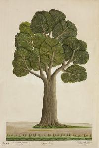 Bur Tree, 1800-10