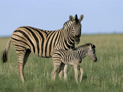 Burchell's (Plains) Zebra and Newborn Foal (Equus Burchelli), Etosha National Park, Namibia, Africa-Steve & Ann Toon-Photographic Print