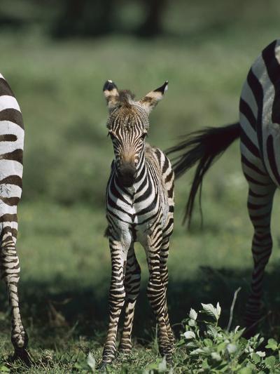 Burchell's Zebra (Equus Burchellii) Foal, Ngorongoro Conservation Area, Tanzania, East Africa-Suzi Eszterhas/Minden Pictures-Photographic Print