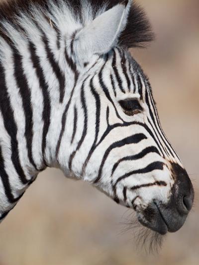Burchell's Zebra, Etosha National Park, Namibia-Michele Westmorland-Photographic Print