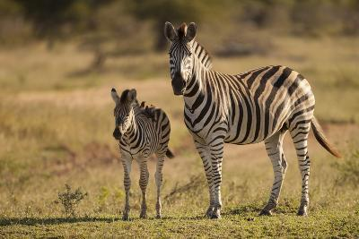 Burchell's Zebra Foal and Mother-Michele Westmorland-Photographic Print