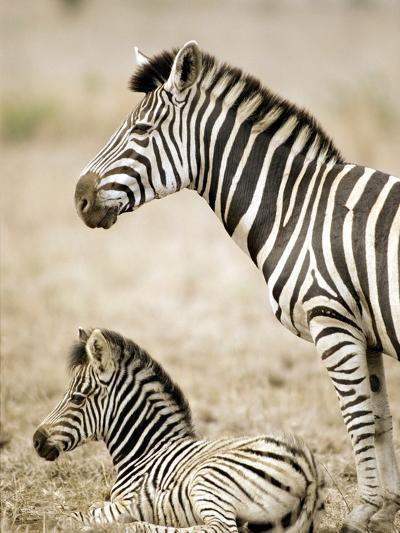 Burchell's Zebra--Photographic Print