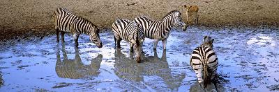 Burchell's Zebras and a Nyala at a Waterhole, Mkuze Game Reserve, Kwazulu-Natal, South Africa--Photographic Print