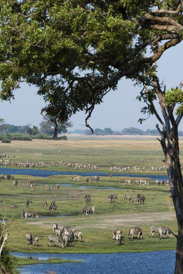Burchell's Zebras (Equus Burchelli), Chobe National Park, Botswana, Africa-Sergio Pitamitz-Photographic Print
