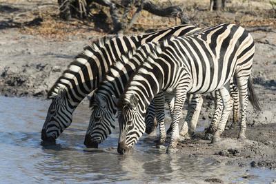 Burchell's Zebras (Equus Burchelli), Khwai Concession, Okavango Delta, Botswana, Africa-Sergio Pitamitz-Photographic Print