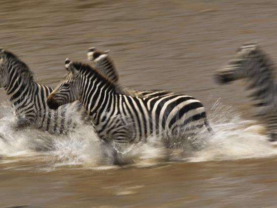 Burchell's Zebras (Equus Burchelli) Running across Mara River, Masai Mara Game Reserve, Kenya-Adam Jones-Photographic Print