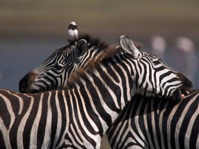 Burchell's Zebras, Equus Burchelli, Tanzania-D^ Robert Franz-Photographic Print