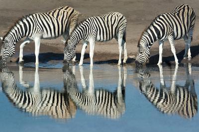 Burchell's Zebras (Equus Quagga Burchellii) Drinking Water, Etosha National Park, Namibia--Photographic Print