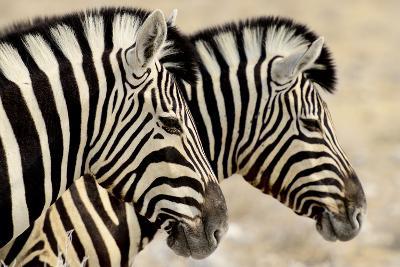 Burchell'S Zebras (Equus Quagga Burchellii) Standing Side By Side. Etosha Np, Namibia-Enrique Lopez-Tapia-Photographic Print