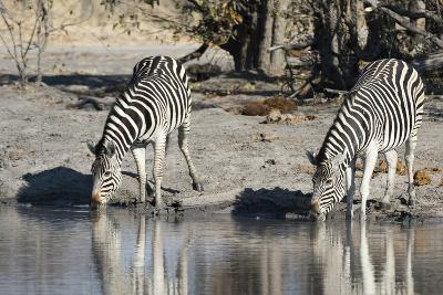 Burchell's Zebras, Khwai Concession, Okavango Delta, Botswana-Sergio Pitamitz-Photographic Print