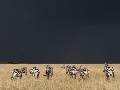 Burchell's Zebras on Savanna Below Stormy Sky-Paul Souders-Photographic Print