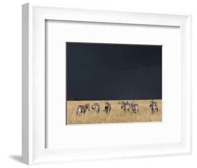 Burchell's Zebras on Savanna Below Stormy Sky-Paul Souders-Framed Photographic Print