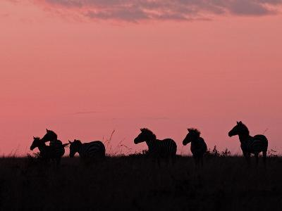 Burchell's Zebras Silhouetted in the Morning Sky of the Maasai Mara, Kenya-Joe Restuccia III-Photographic Print