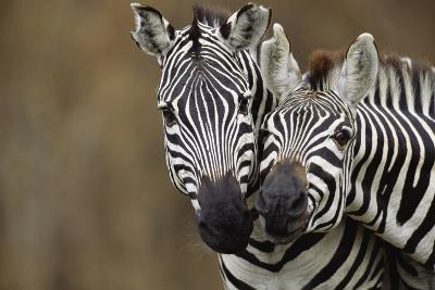 Burchell's Zebras-Momatiuk - Eastcott-Photographic Print