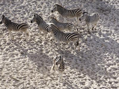 Burchells Zebra, Group from Above, Botswana-Mike Powles-Photographic Print