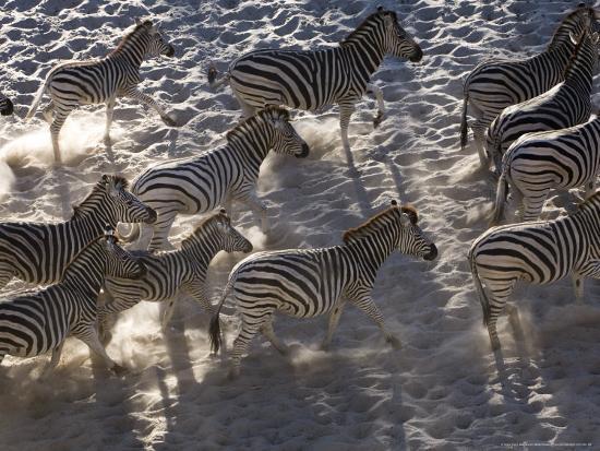 Burchells Zebra, Group Running, Botswana-Mike Powles-Photographic Print
