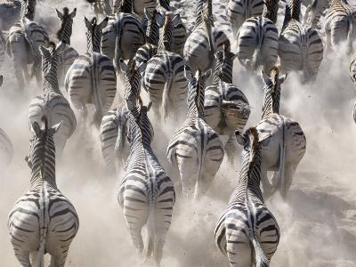 Burchells Zebra, Group Running in Dust, Botswana-Mike Powles-Photographic Print