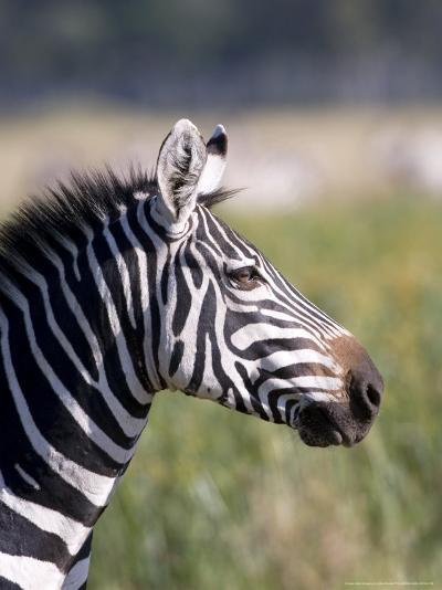 Burchells Zebra, Stallion Head Profile, Kenya-Mike Powles-Photographic Print