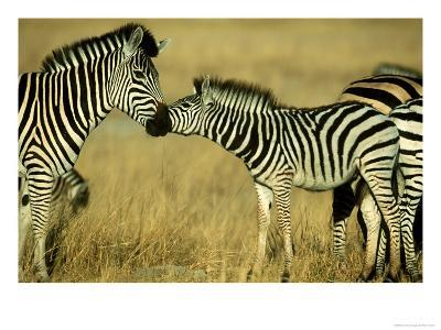 Burchells Zebra Youngster Greeting Mother Botswana, Southern Africa-Mark Hamblin-Photographic Print