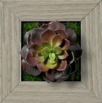 Burgundy/Green Echeveria Square - Farmhouse Gray--Dimensional Product