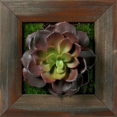 Burgundy/Green Echeveria Square - Grayson Mahogany