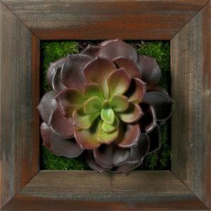 Burgundy/Green Echeveria Square - Grayson Mahogany