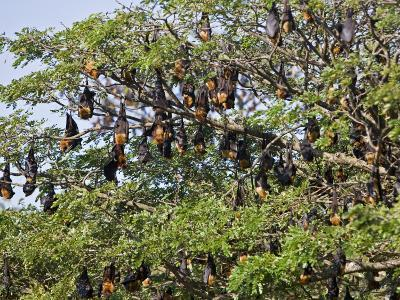 Burma, Rakhine State, Fruit Bats Spend the Day Hanging from the Branches of Large Trees, Myanmar-Nigel Pavitt-Photographic Print