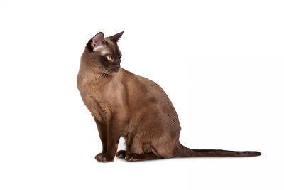 Burmese Cat-Fabio Petroni-Photographic Print