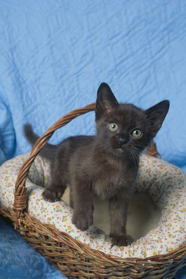 Burmese Kitten in a Basket-DLILLC-Photographic Print