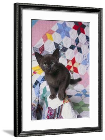 Burmese Kitten on Quilt-DLILLC-Framed Photographic Print