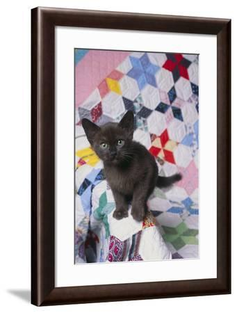 Burmese Kitten on Quilt-DLILLC-Framed Photographic Print