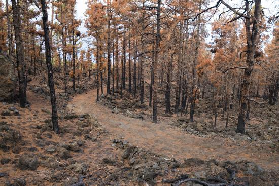 Burned Canary pine trees, La Palma Island, Canary Islands, Spain, Europe-Sergio Pitamitz-Photographic Print