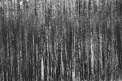 Burnt Out Pines-Howard Ruby-Photographic Print
