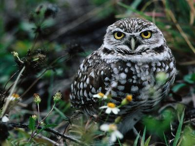 Burrowing Owl at a Den Site Peers Out from Grass-Jeff Foott-Photographic Print