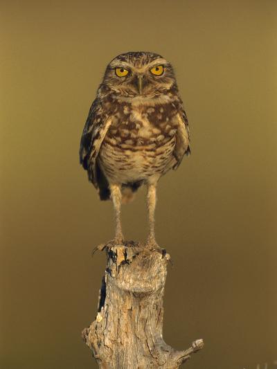 Burrowing Owl (Athene Cunicularia) Perched on Stump, Los Llanos, Venezuela-Thomas Marent/Minden Pictures-Photographic Print