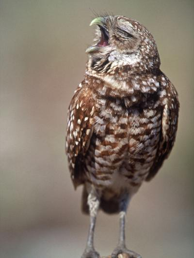 Burrowing Owl, Florida, Usa-Connie Bransilver-Photographic Print