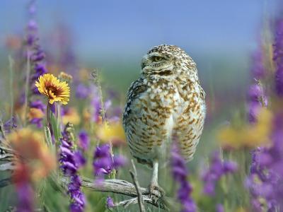 Burrowing Owl, New Mexico, Usa-Tim Fitzharris-Photographic Print