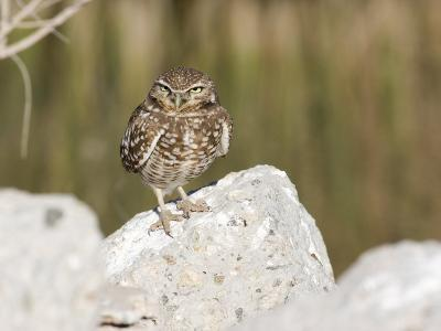 Burrowing Owl, Salton Sea Area, Imperial County, California, USA-Diane Johnson-Photographic Print