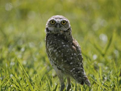Burrowing Owl-Robert Madden-Photographic Print