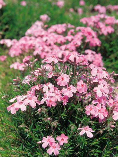 Bush with Beautiful Blooming Pink Flowers--Photographic Print