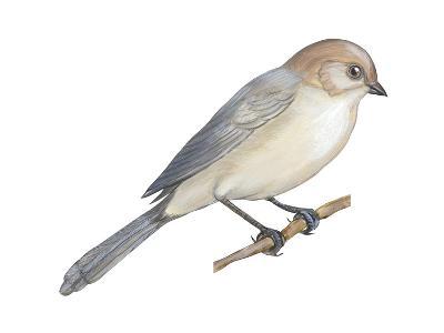 Bushtit (Psaltriparus Minimus), Birds-Encyclopaedia Britannica-Art Print