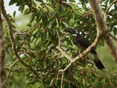 Bushy-Crested Hornbill, Anorrhinus Galeritus, in a Strangler Fig Tree-Tim Laman-Photographic Print