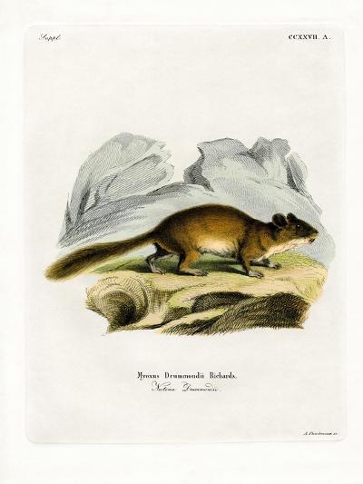 Bushy-Tailed Woodrat--Giclee Print