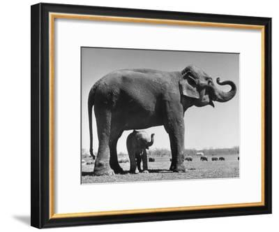 Butch, Baby Female Indian Elephant in the Dailey Circus, Standing Beneath Full Size Elephant-Cornell Capa-Framed Premium Photographic Print