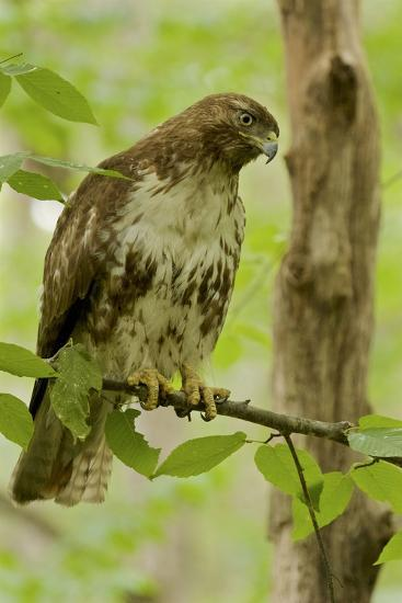Buteo jamaicensis, a juvenile Red-tailed Hawk, perched on a branch near Walden Pond.-Tim Laman-Photographic Print