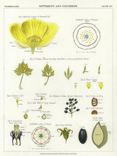 Buttercup and Columbine--Giclee Print