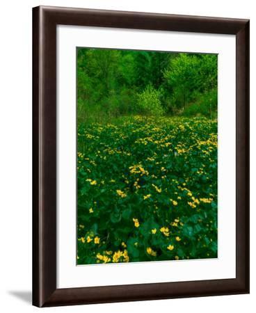 Buttercups-Steven Maxx-Framed Photographic Print