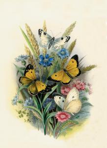 Butterflies and Moths, no. 3