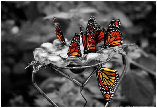 Butterflies at the Bronx Zoo NYC--Poster