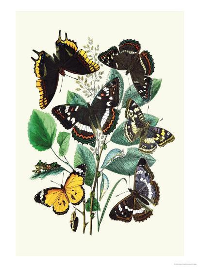 Butterflies: L. Populi, A. Iris-William Forsell Kirby-Art Print